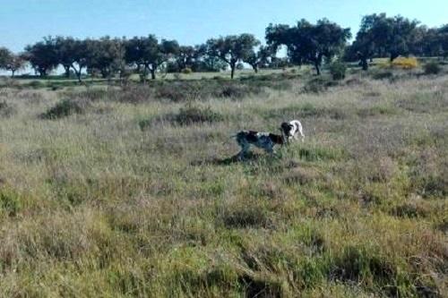 img-Iniciação de cães de parar para caça