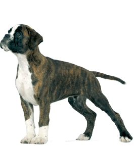 Breed Health Nutrition - Cães